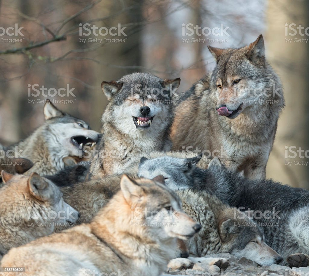 Wolf Pack Close Up stock photo