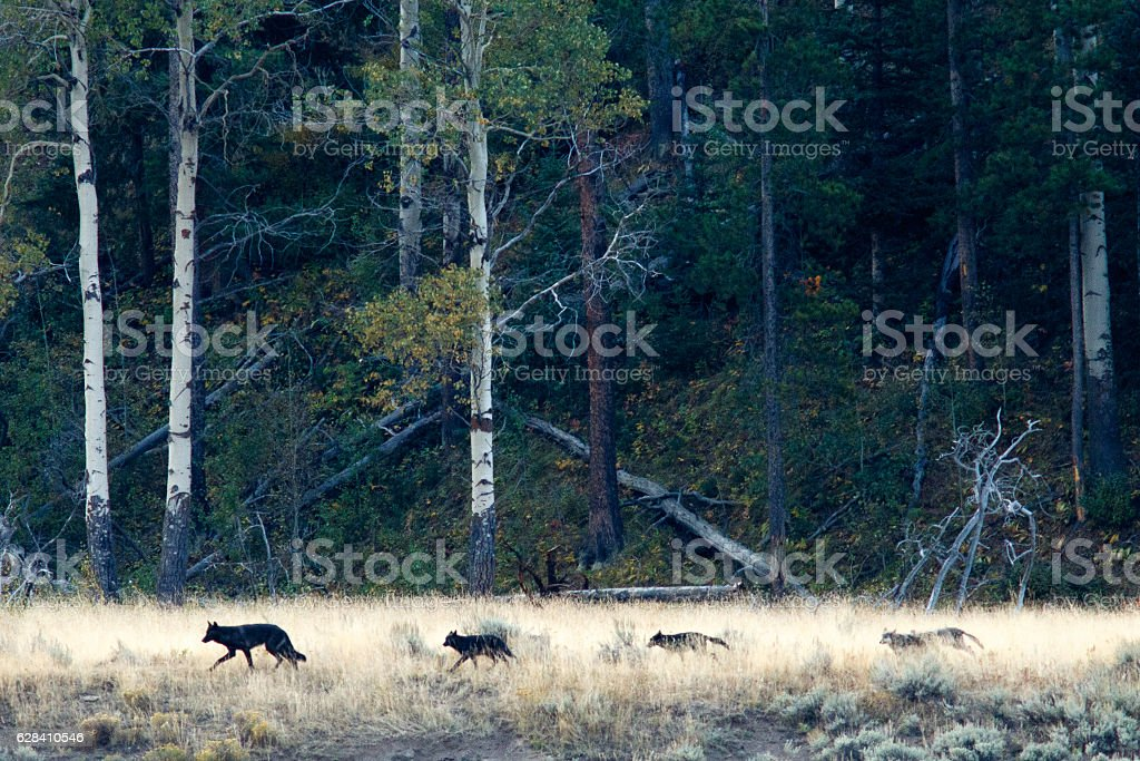 Wolf pack in Yellowstone stock photo