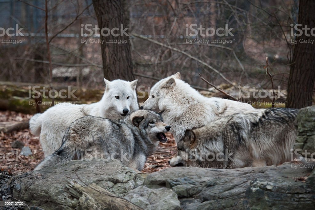 Wolf Pack Play-Fighting stock photo
