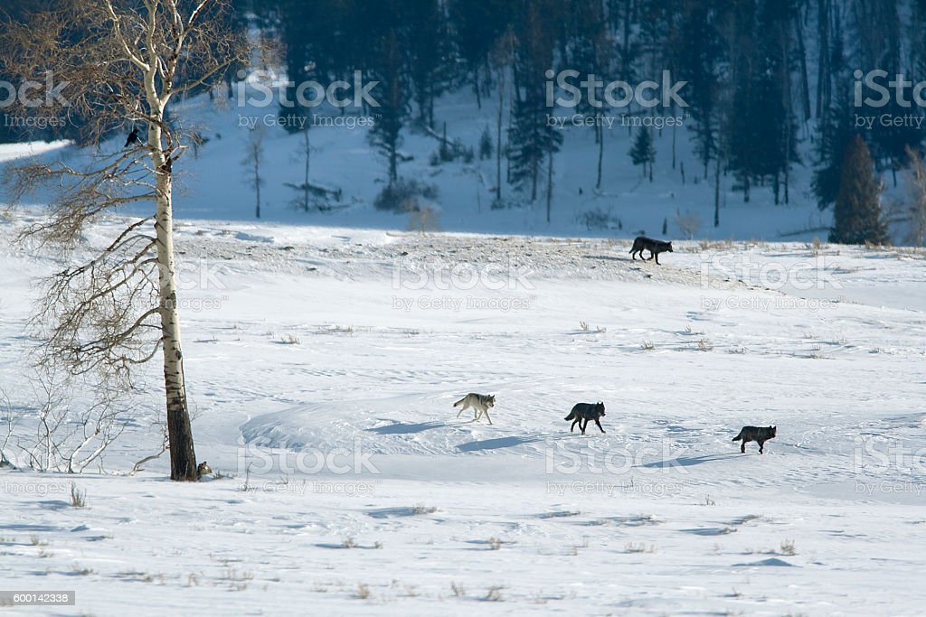 Wolf pack run snowy Lamar Valley Yellowstone National Park Wyoming stock photo