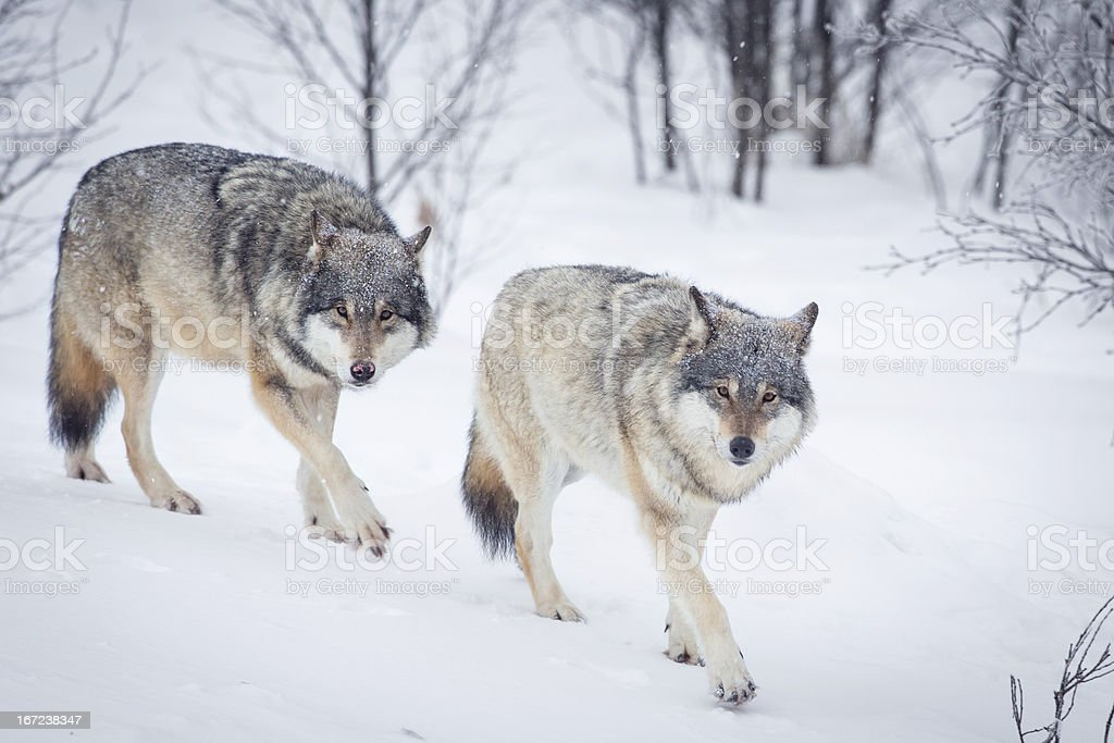 Wolf pack sneaks in winter landscape royalty-free stock photo