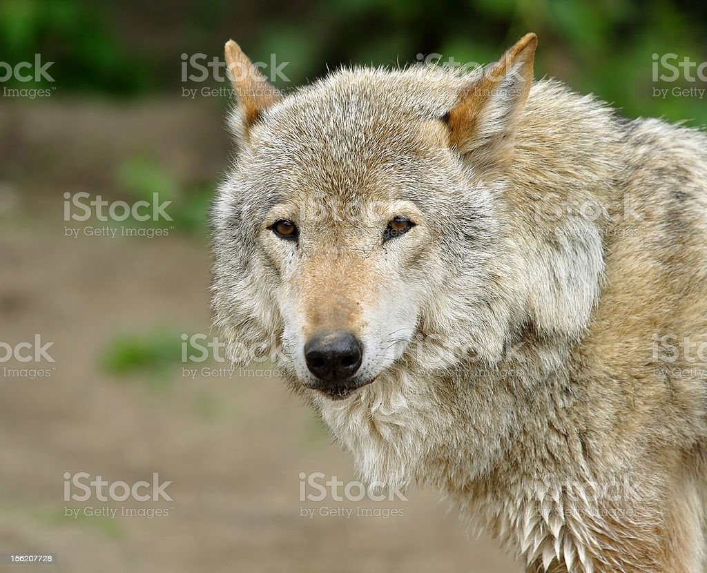Wolf. royalty-free stock photo