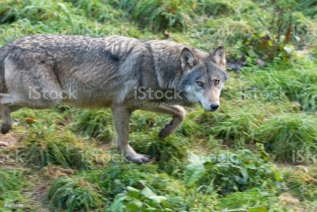 Wolf ( Canis lupus ) stock photo