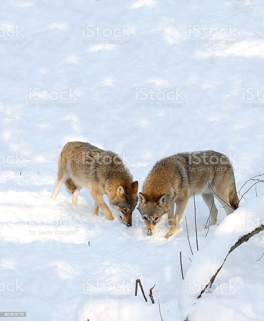 Wolf royalty-free stock photo