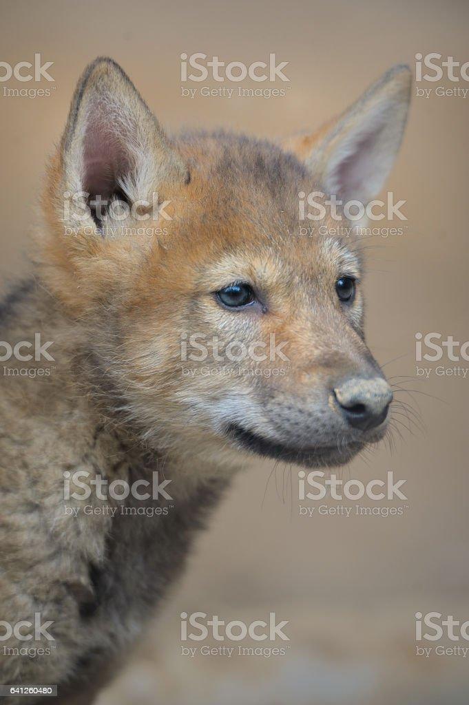 Wolf, stock photo