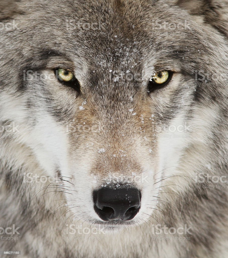 Wolf portrait stock photo