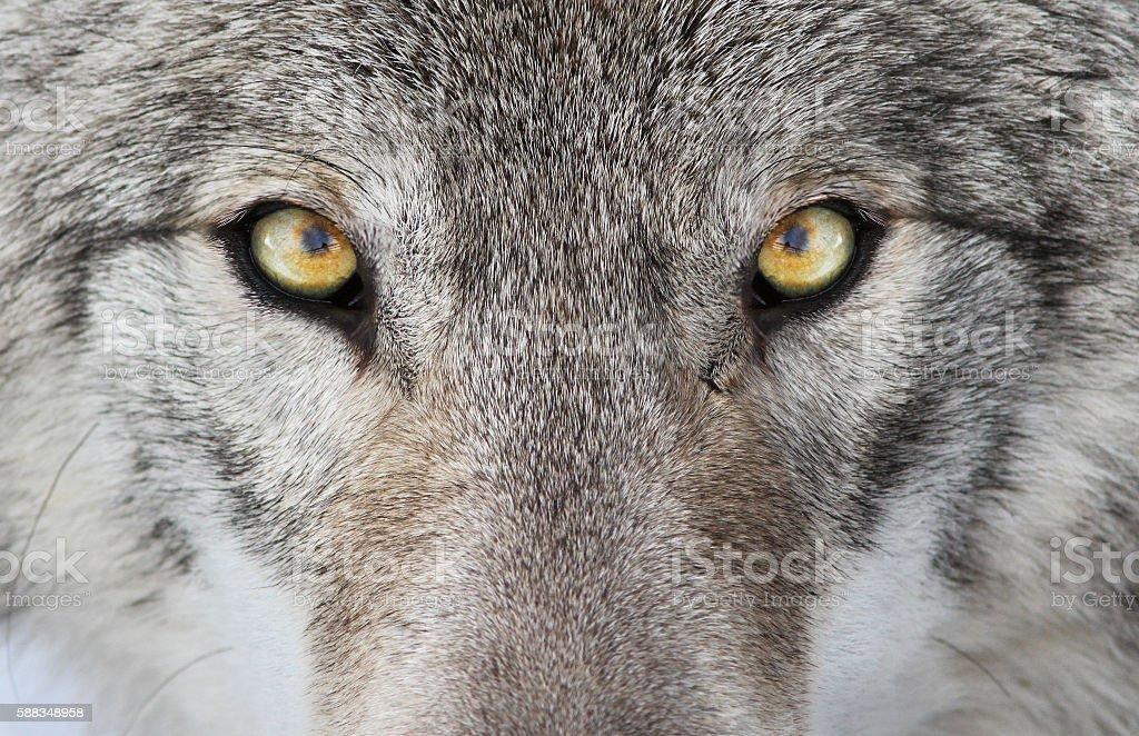 Wolf portrait stock photo