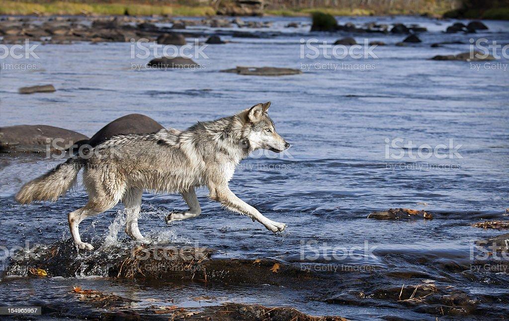 Wolf profile stock photo