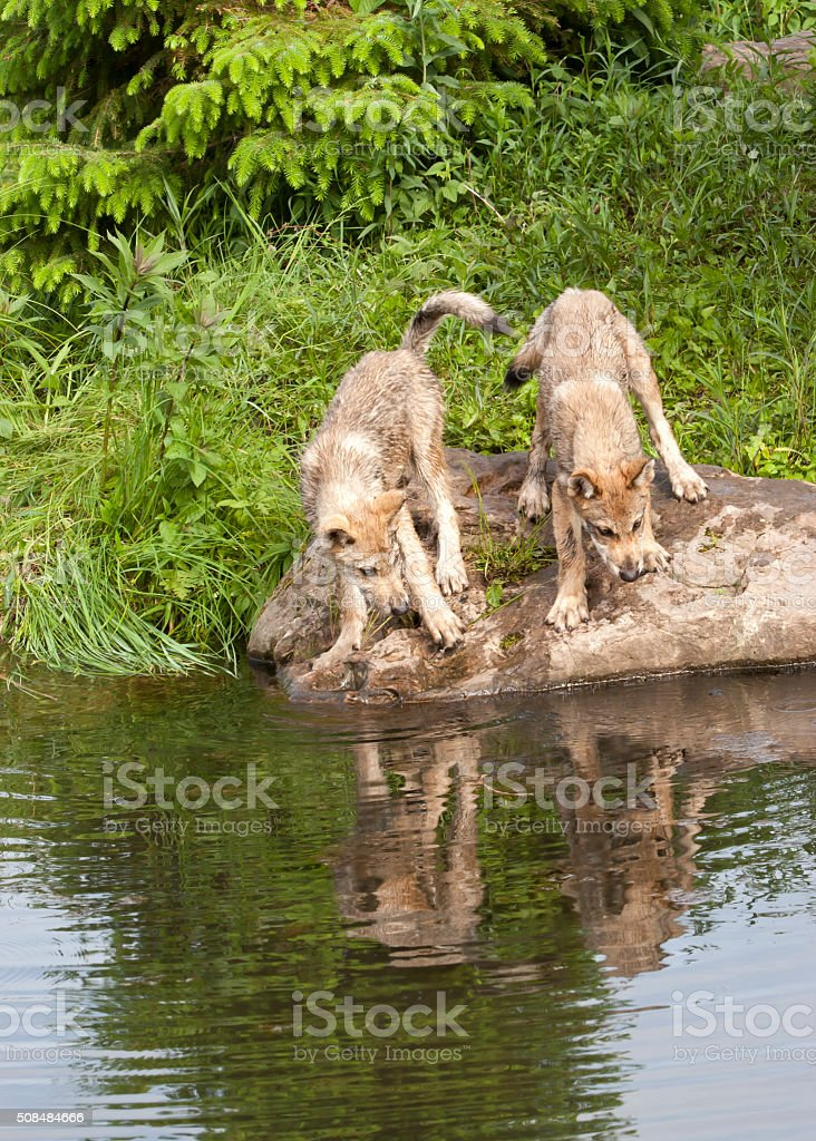 Wolf Puppies Looking at their Reflections in a Lake stock photo