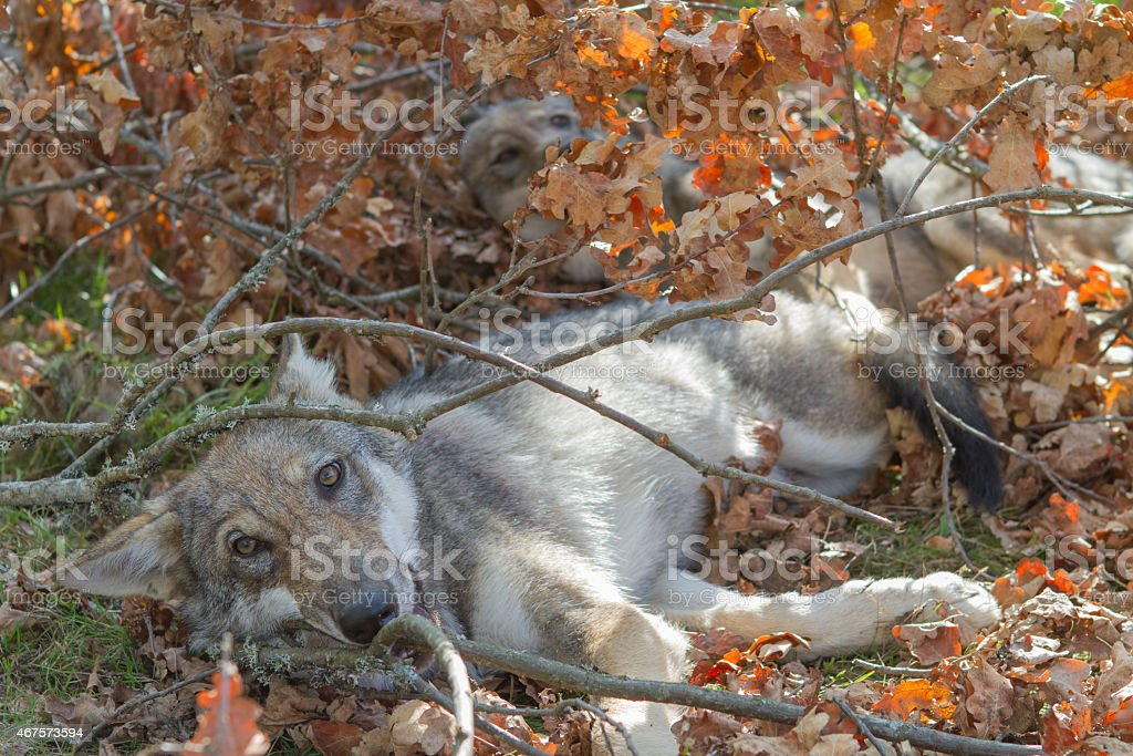 Wolf puppies relaxing in a warm autumn day stock photo