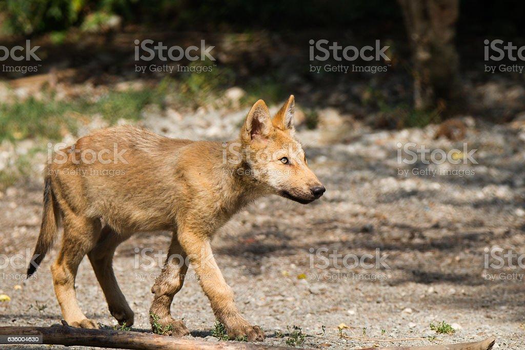 Wolf puppy stock photo