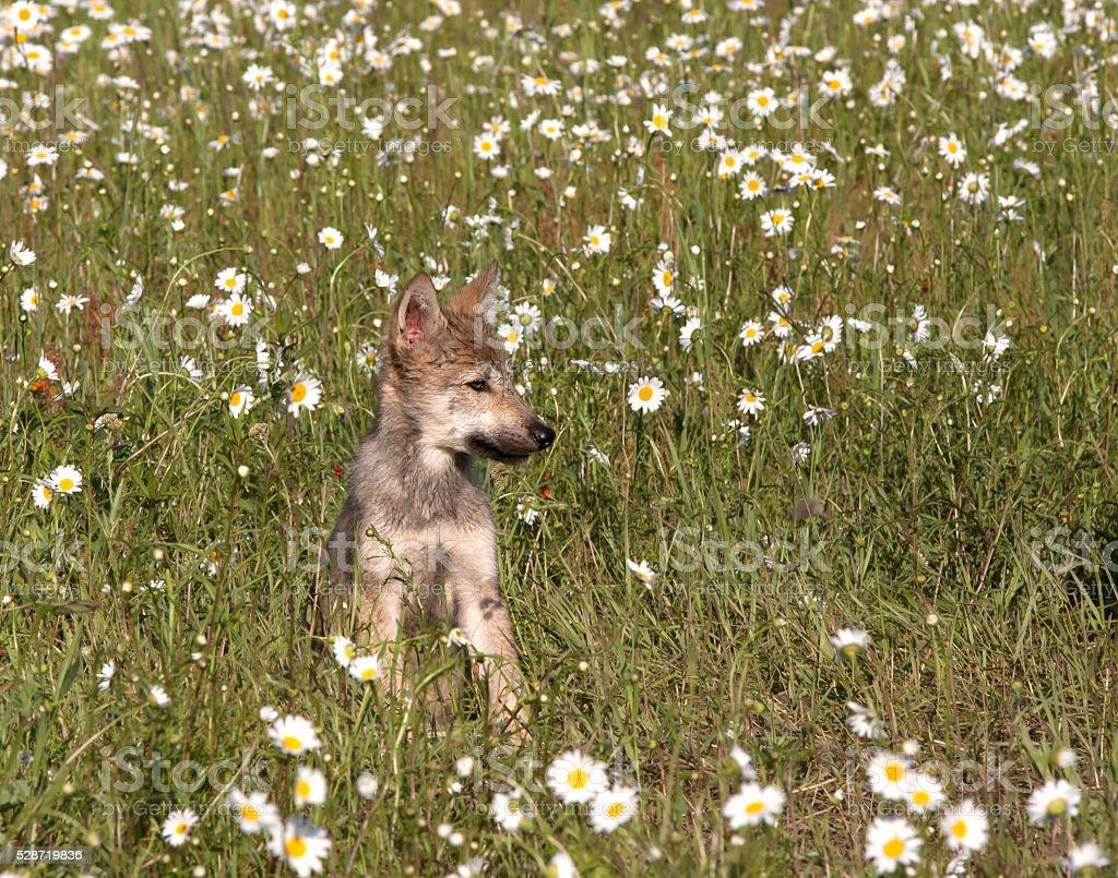 Wolf Puppy Portrait stock photo