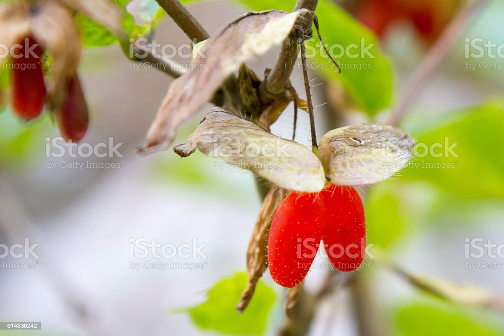 wolf red berries stock photo