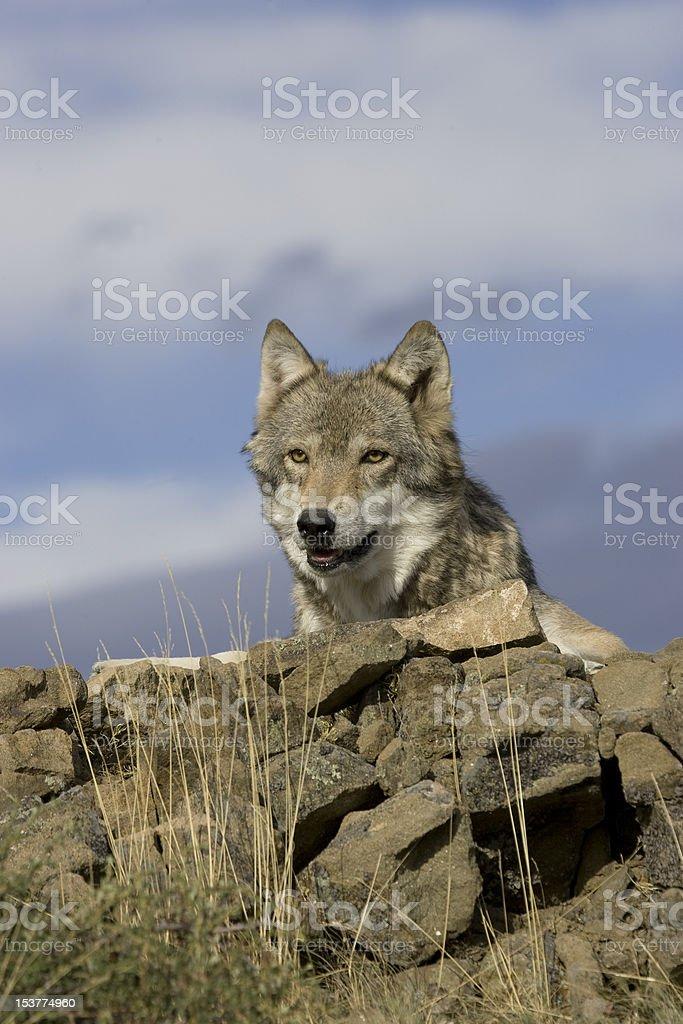 Loup arrive sur la Saillie rocheuse photo libre de droits