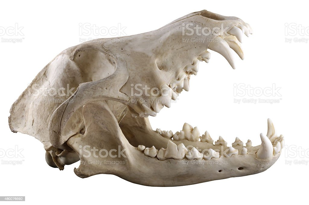 Wolf skull  isolated on a white background stock photo