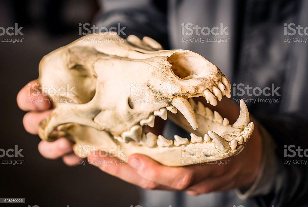 Wolf skull stock photo