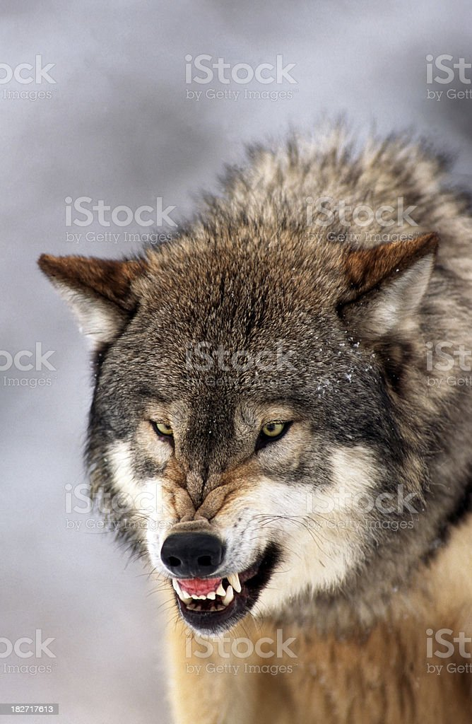 Wolf Snarl stock photo