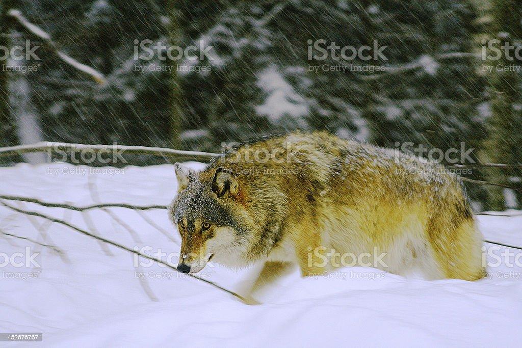 Wolf. Snowing. stock photo