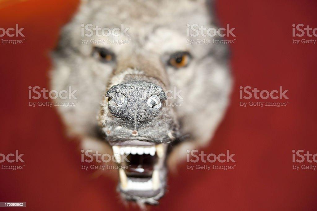 Wolf, specimen royalty-free stock photo