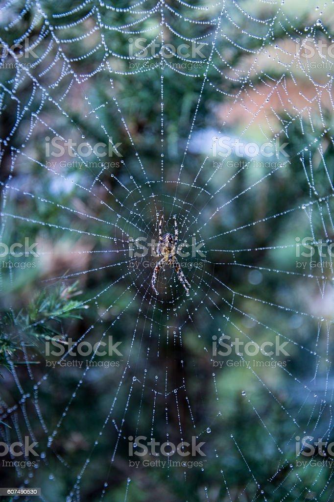 Wolf Spider in Dewy Cob Wen stock photo