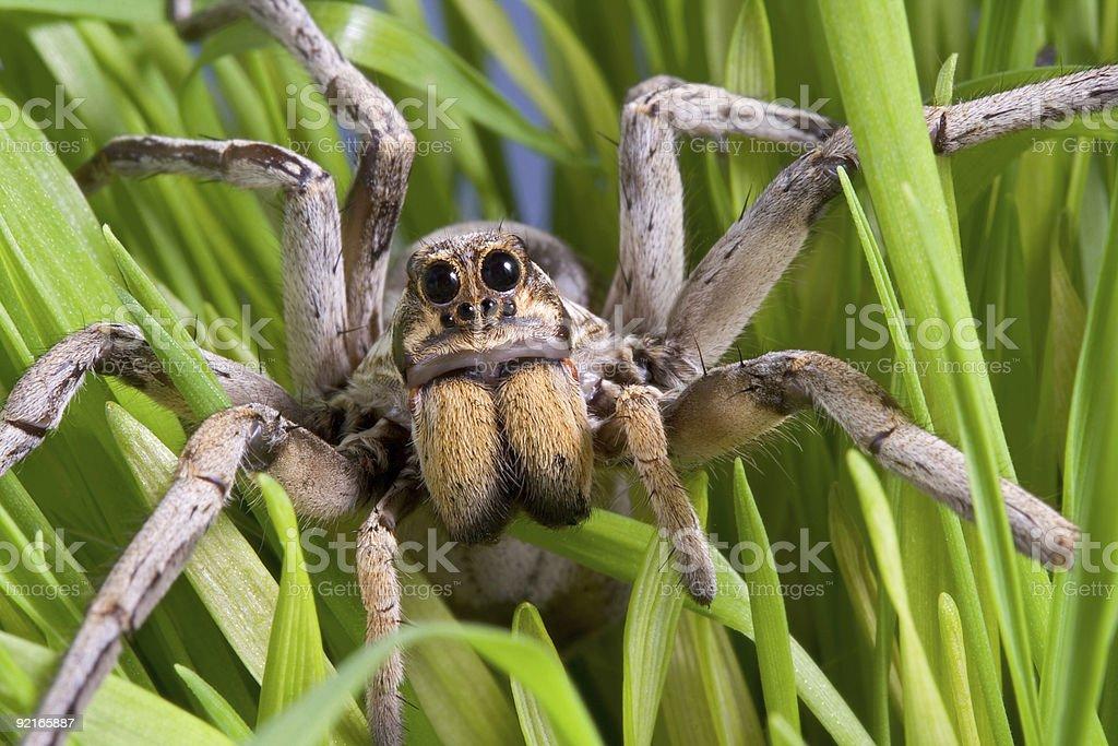 Wolf spider in grass stock photo