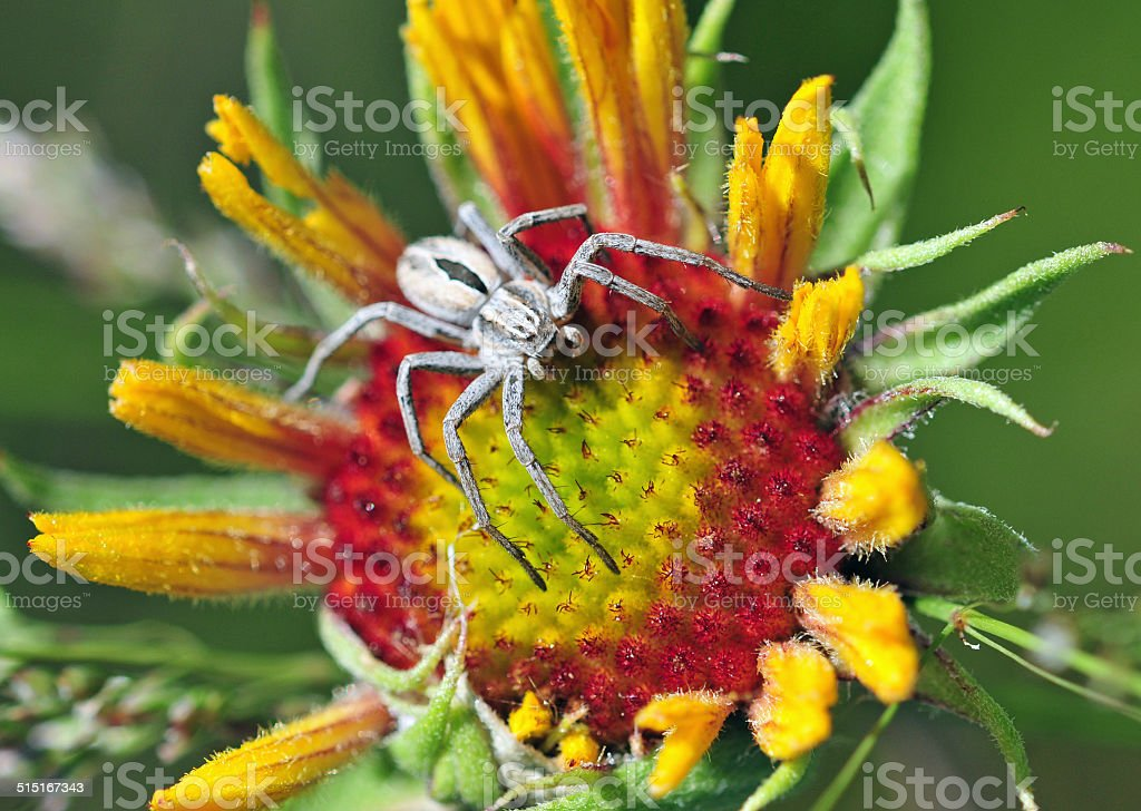 Wolf Spider on Black-Eyed Susan Blossom stock photo