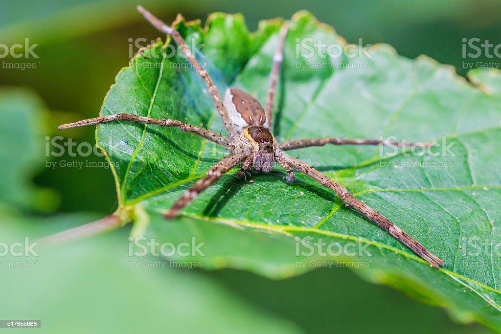 wolf spider on leaf stock photo