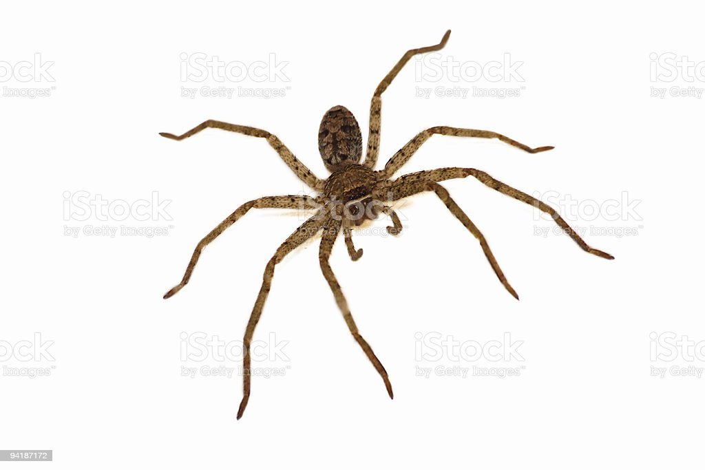 Wolf Spider royalty-free stock photo