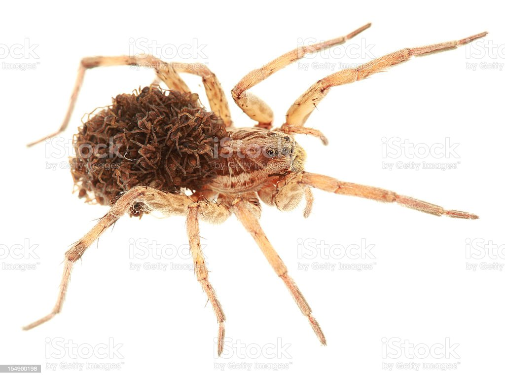 Wolf spider transporting its offspring stock photo