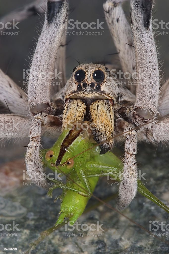 Wolf spider with fangs in hopper royalty-free stock photo