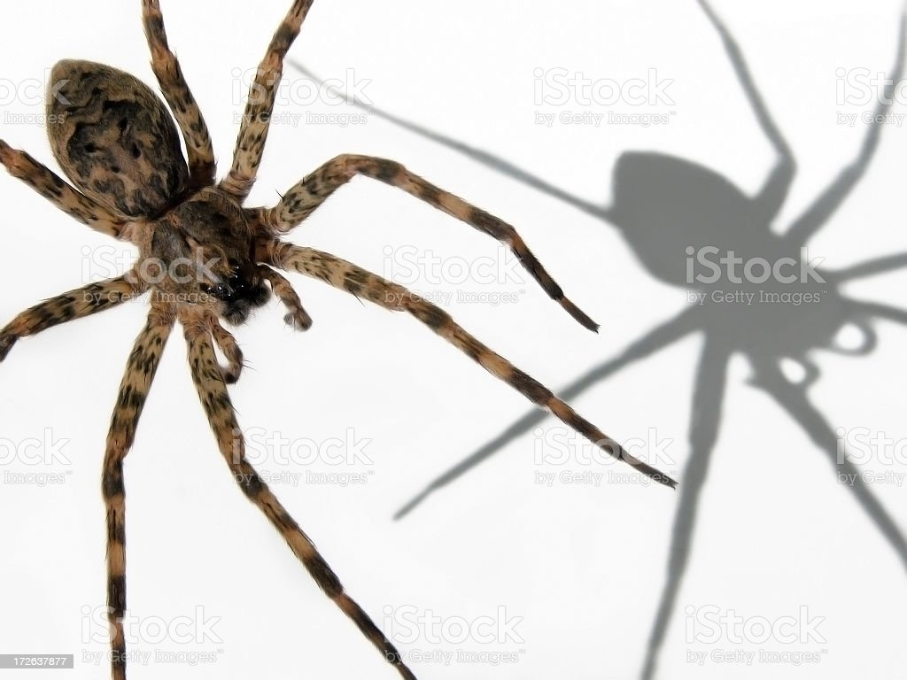 wolf spider with shadow royalty-free stock photo