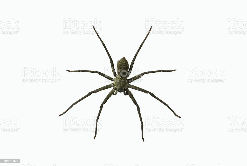 Wolf spiders LYCOSA SP. stock photo