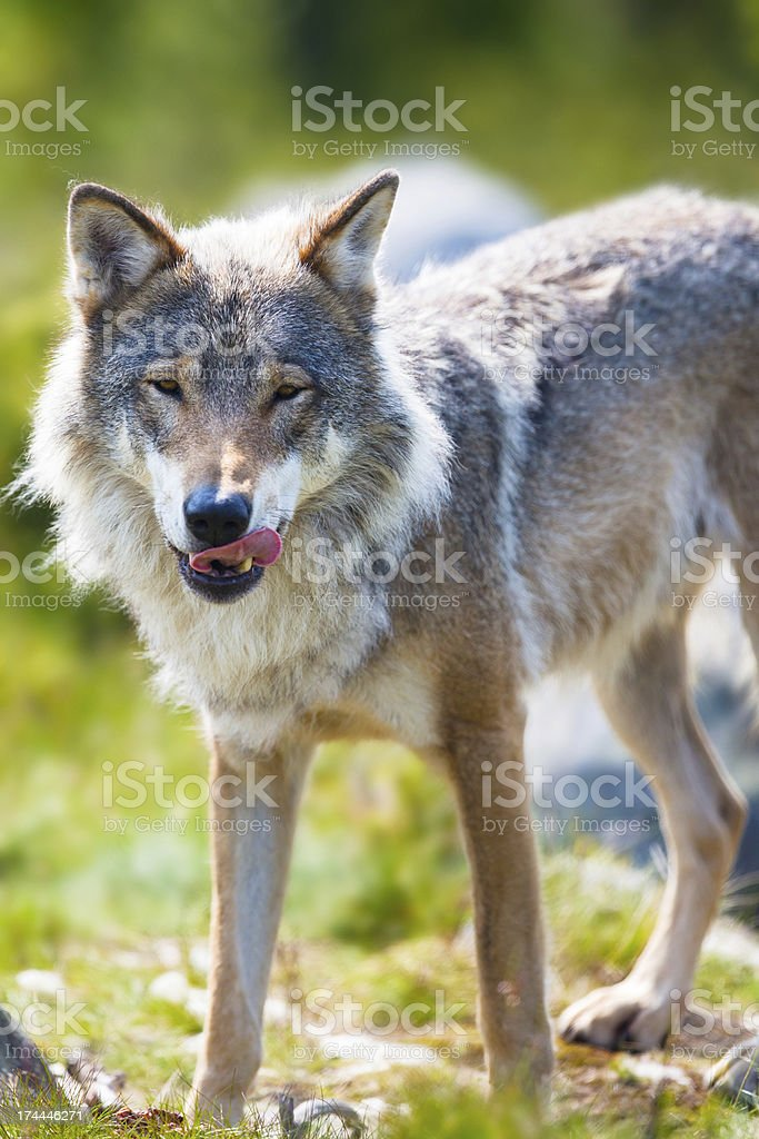 Wolf standing with his tongue out stock photo