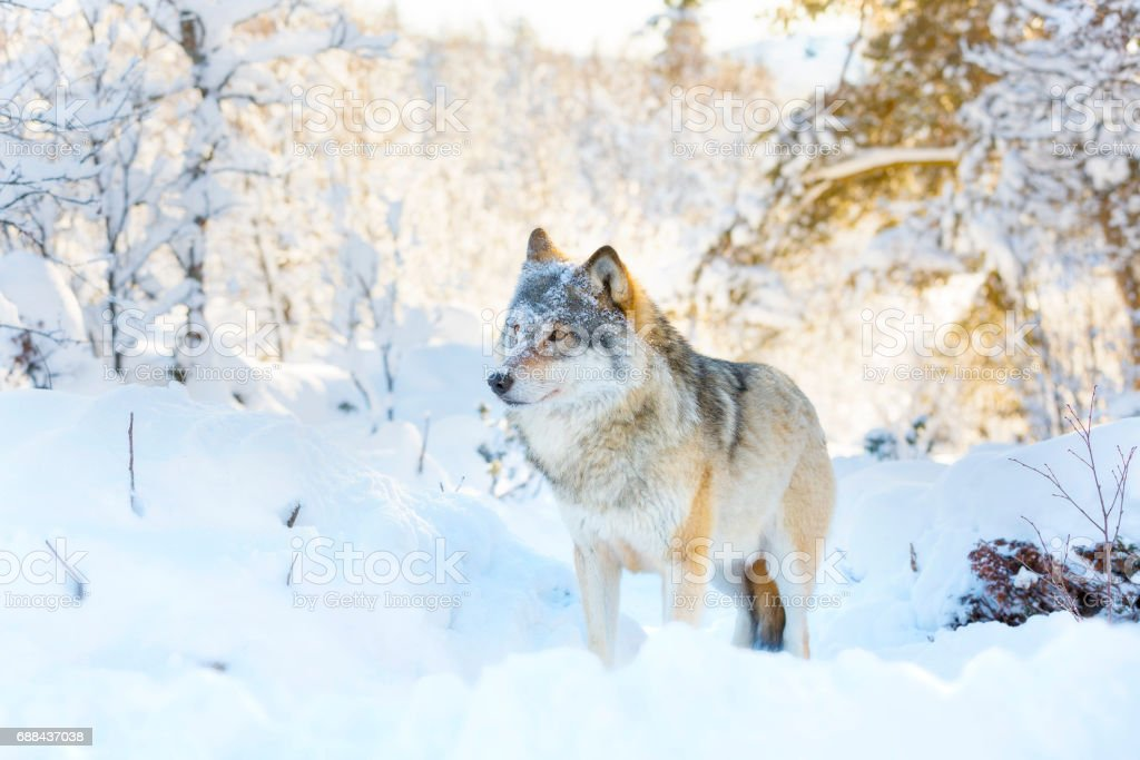 Wolf stands in beautiful and snowy winter landscape stock photo