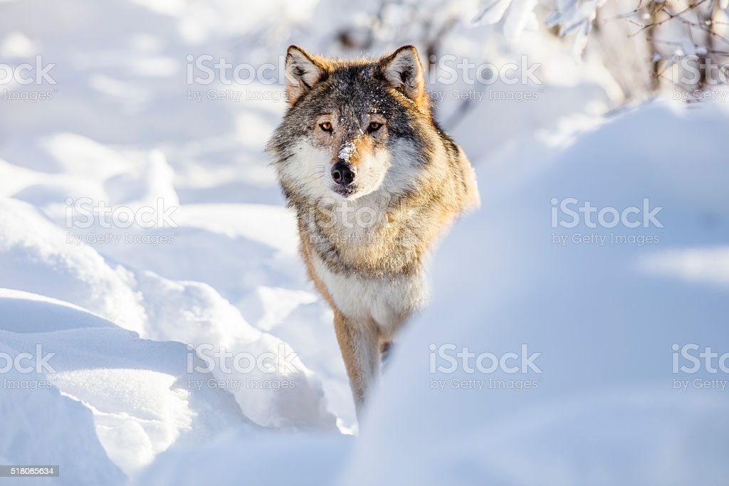 Wolf stands in beautiful white winter snow stock photo