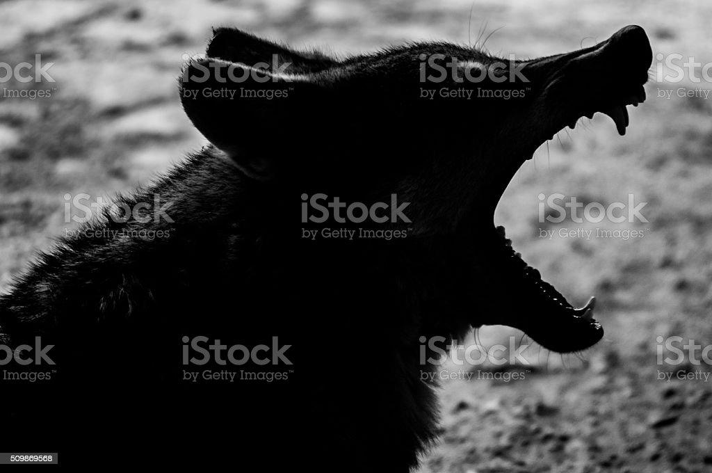 Wolf Teeth stock photo