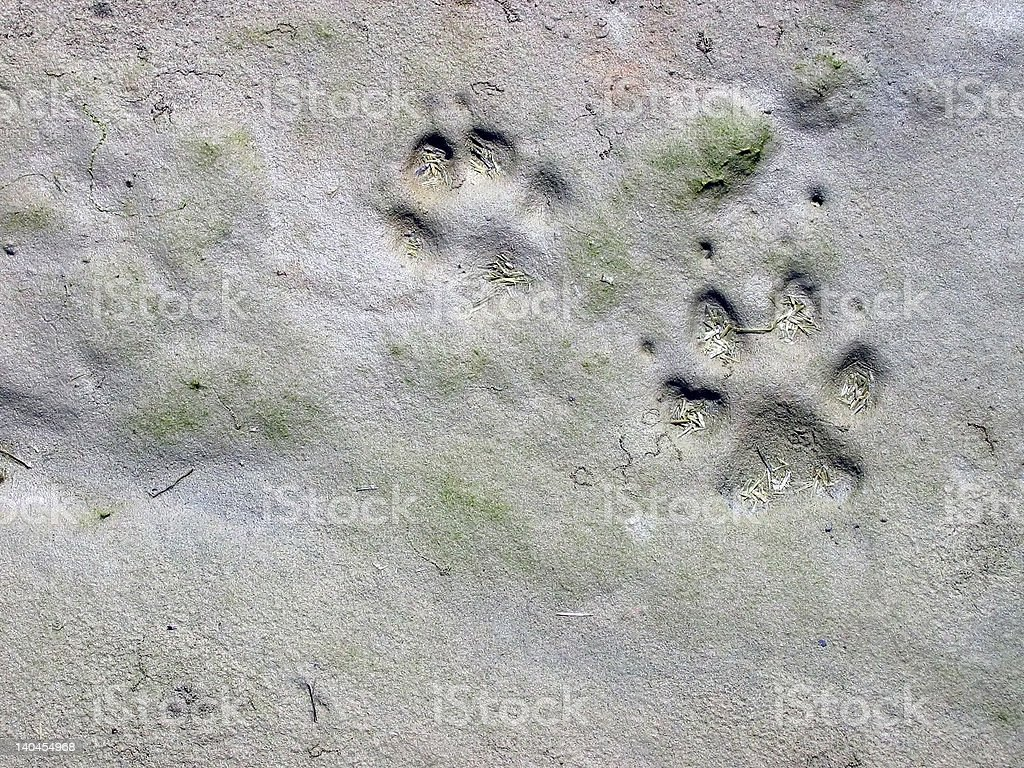 Wolf Tracks royalty-free stock photo