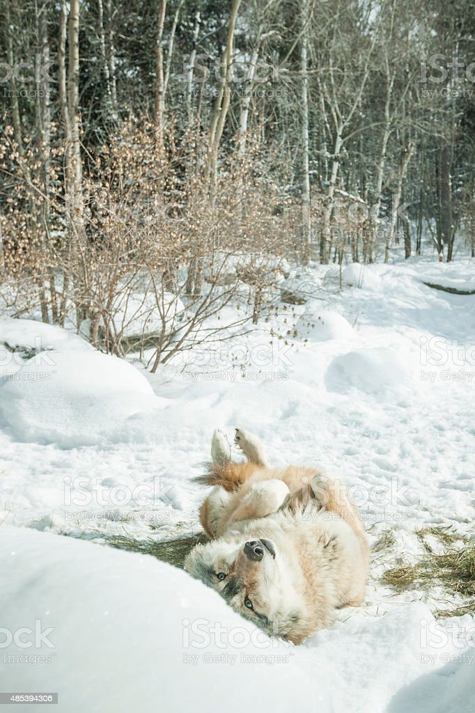 Wolf upside down in snow stock photo