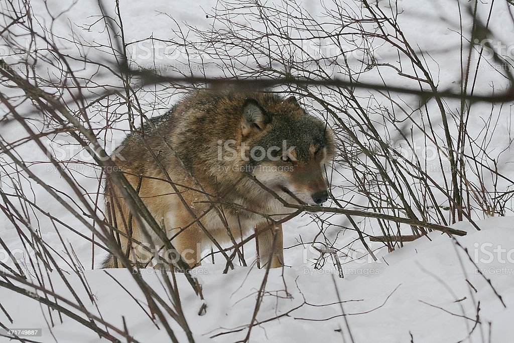 Wolf. Winter. stock photo