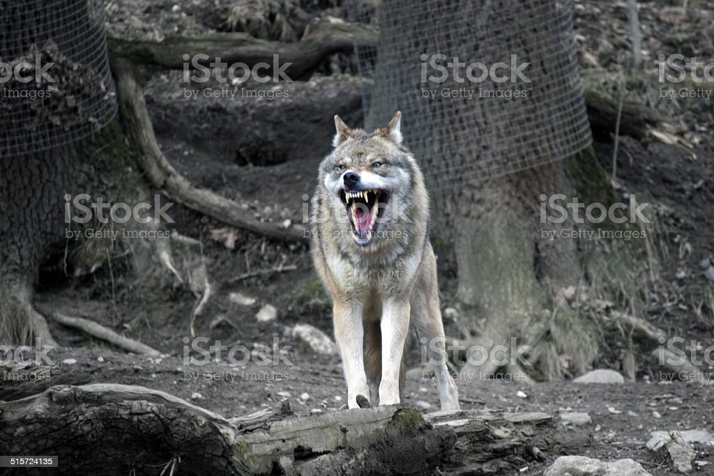 Wolf with open mouth stock photo