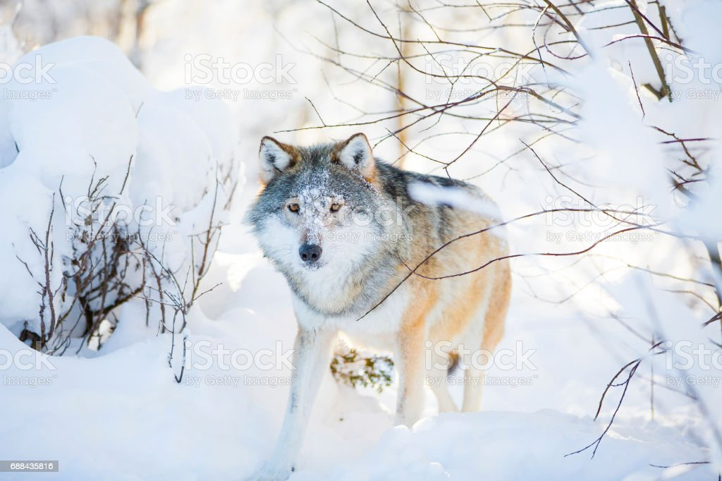 Wolf with wild eyes walking in the snowy winter forest stock photo