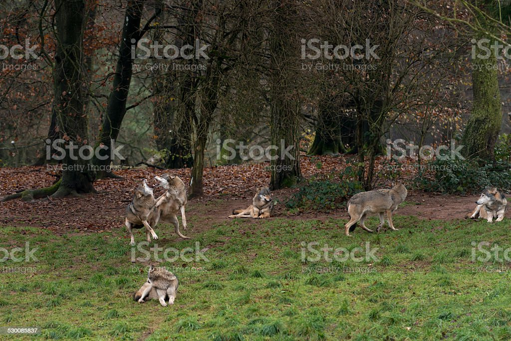 Wolf ( Canis lupus ), wolves fighting stock photo