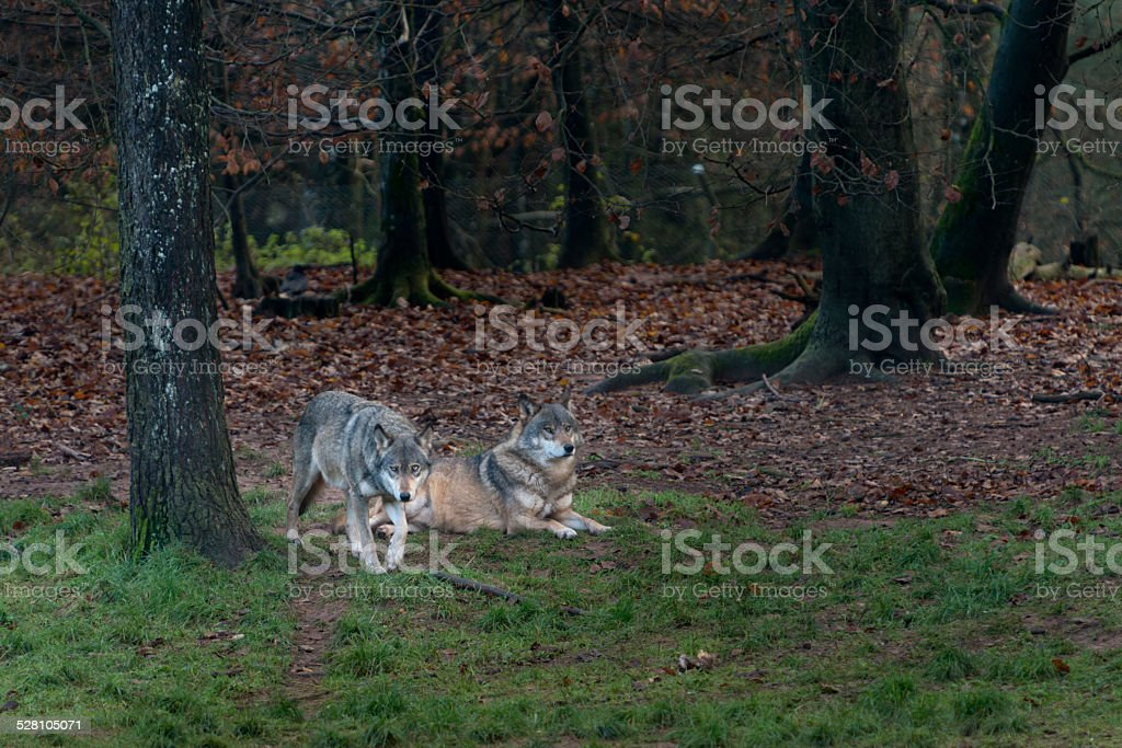 Wolf ( Canis lupus ), wolves stock photo