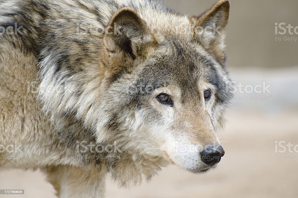 wolf portait royalty-free stock photo