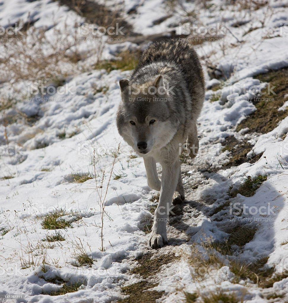 Wolf, Yellowstone National Park royalty-free stock photo