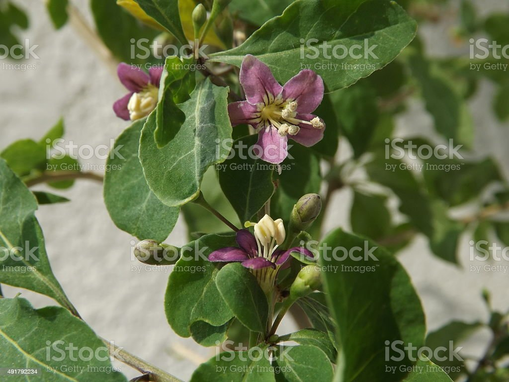 Wolfberry bloom royalty-free stock photo