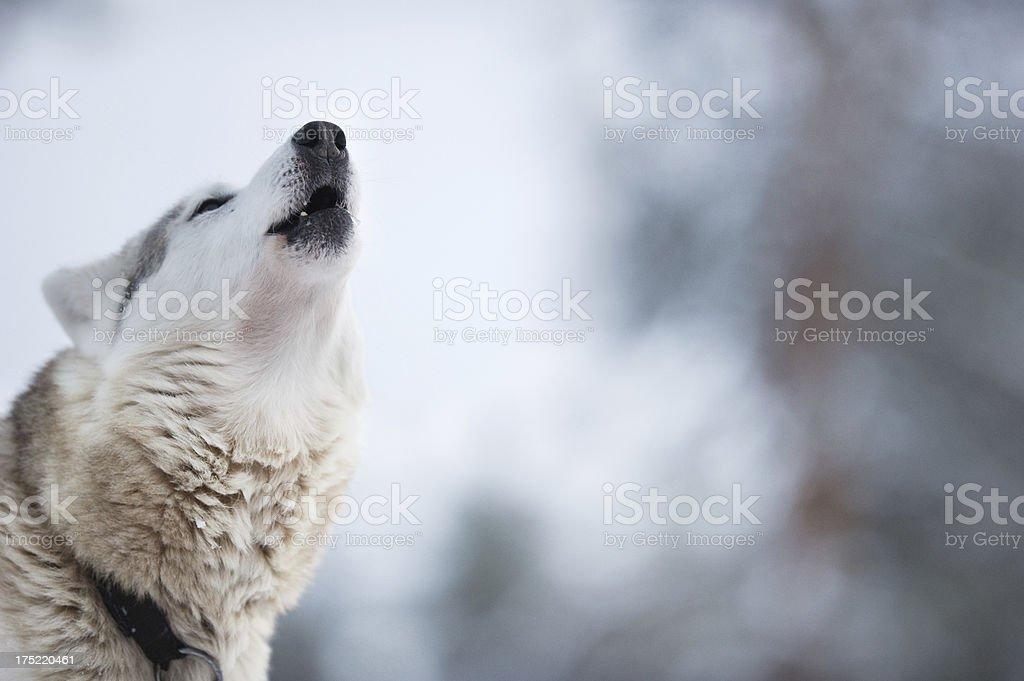 Wolfdog howling stock photo