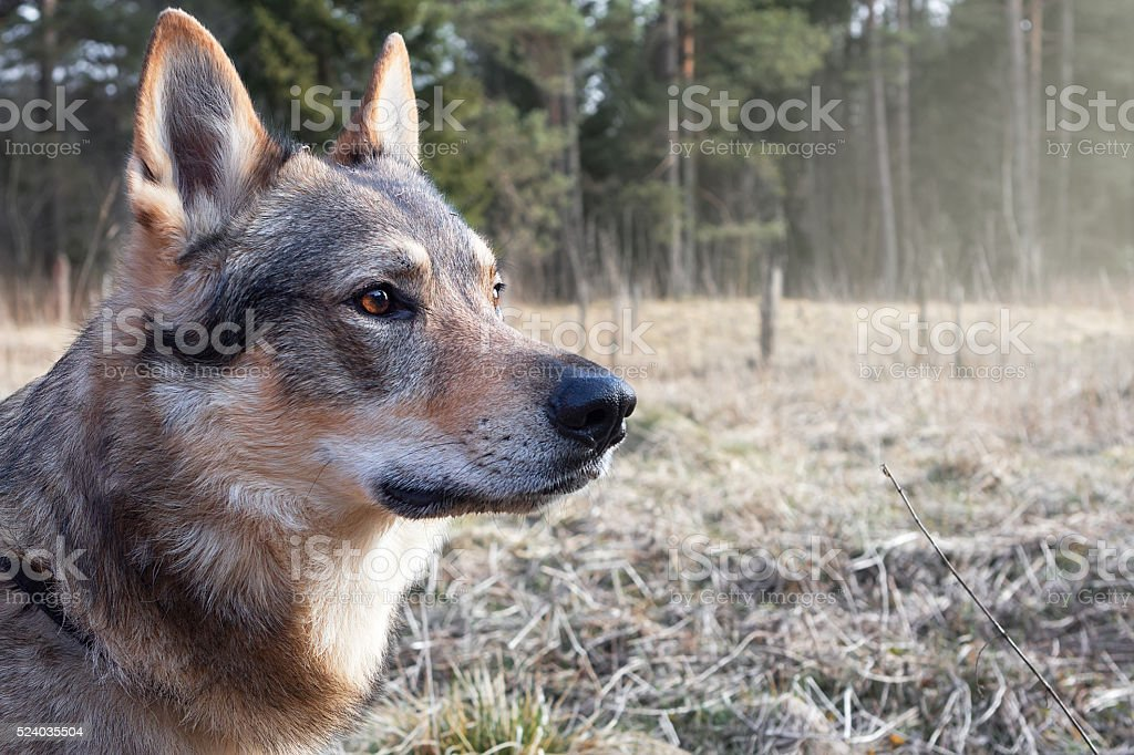 Wolf-dog in the forest stock photo