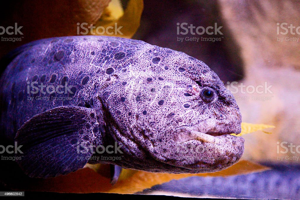 wolf-eel royalty-free stock photo