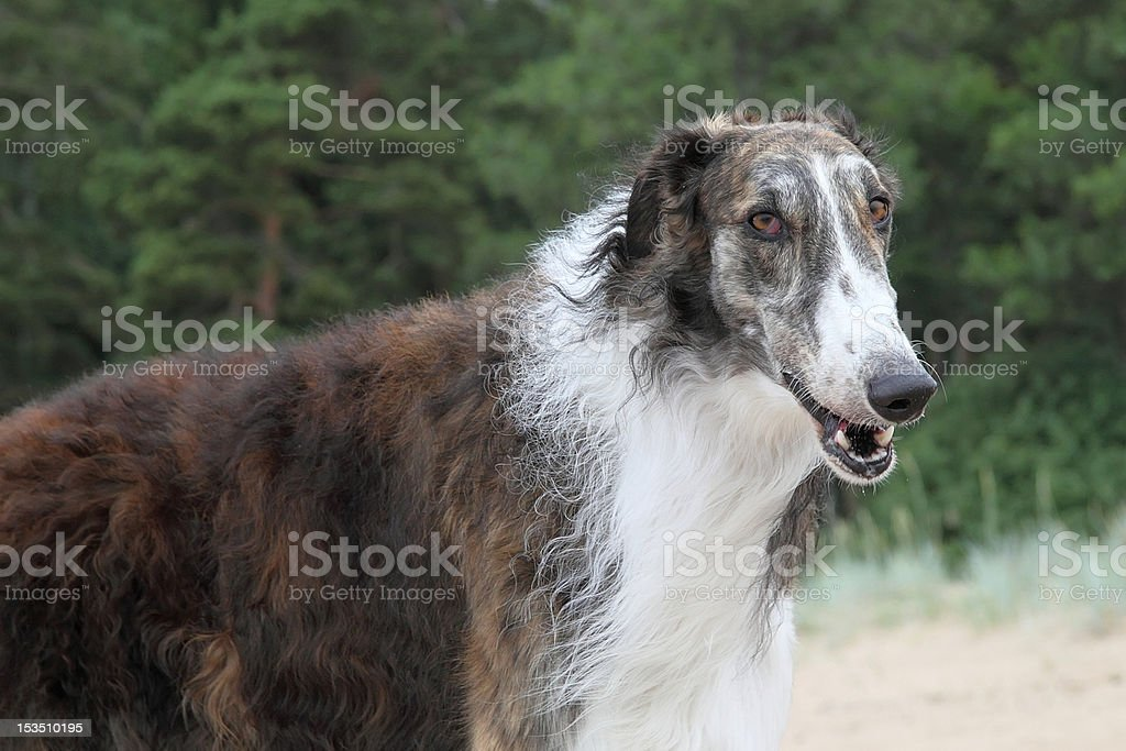 Wolfhound royalty-free stock photo